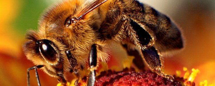 ¿Cómo afecta al hombre que las abejas silvestres esten en peligro de extinción?<span class=