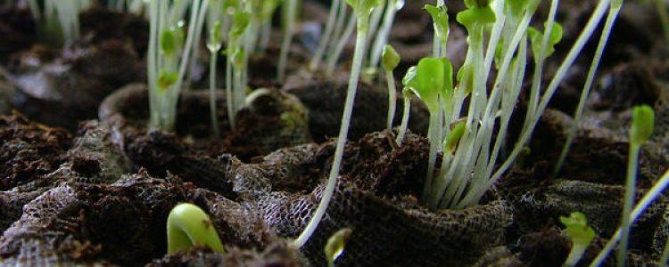 Descubren el mecanismo molecular que controla la dirección del crecimiento de las plantas<span class=