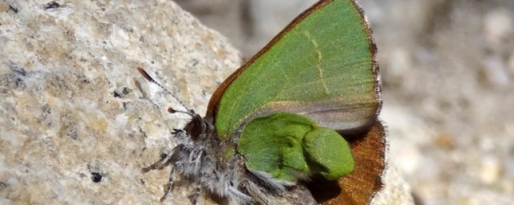Una nueva especie en Madrid, ¡bienvenida cejirrubia!